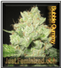 Bubble Gummy Just Female Mix & Match Seeds